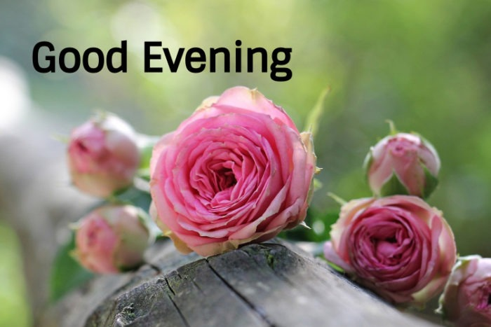 Good Evening Rose Love Images