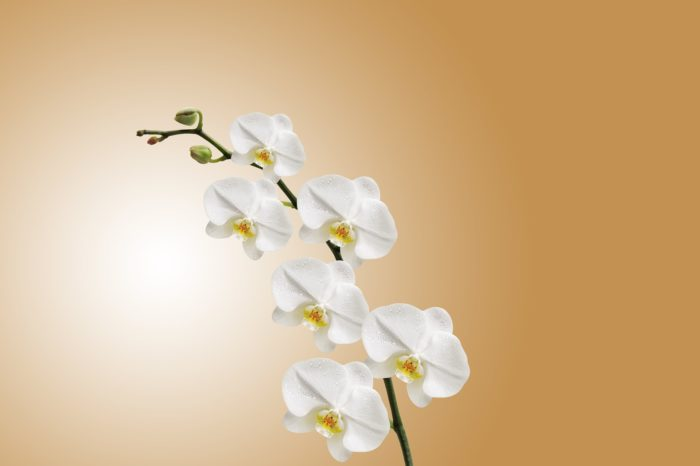 orchid flower images