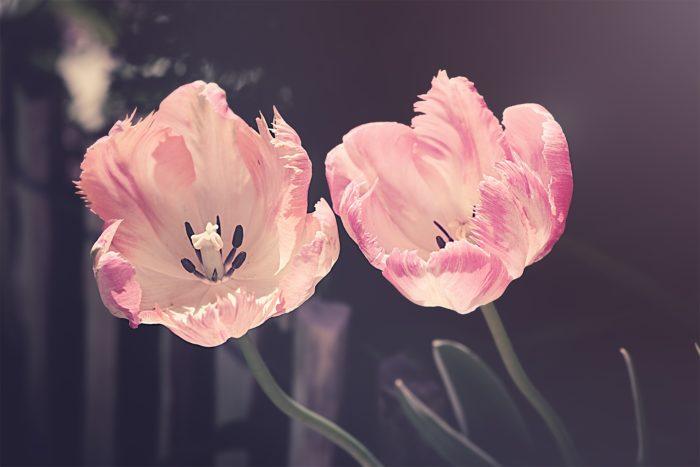 Tulip Flower Images